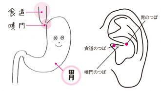 実際の器官の位置と同じように、胃と食道のつぼが噴門のつぼを挟んでいる