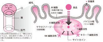 〝腸〞は人体最大の免疫器官