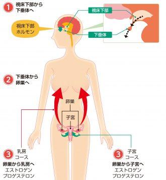 女性ホルモンの分泌の流れ